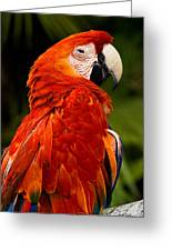 Aloof In Red Greeting Card