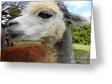 Alpaca Blue Greeting Card