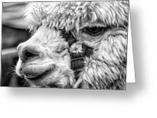 Alpaca Close Greeting Card