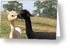 Alpaca Kiss Greeting Card