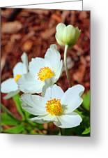 Alpine Pasqueflower Greeting Card