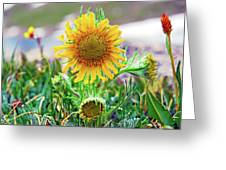 Alpine Sunflower In Summer Greeting Card