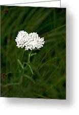 Alpine Yarrow Wildflower 1 Greeting Card