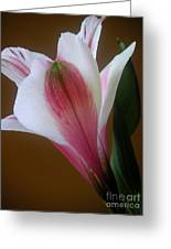 Alstroemeria - Alone Greeting Card