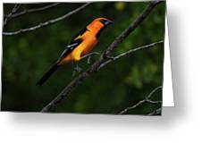 Altamira Oriole - Limb Hopping Greeting Card