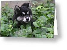 Alusky Pup Peaking Out Of Green Foliage Greeting Card