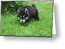 Alusky Puppy Stalking Through Tall Green Grass Greeting Card