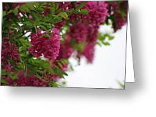 Amaranth Pink Flowering Locust Tree In Spring Rain Greeting Card