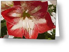 Amaryllidaceae Hippeastrum Stargazeramarylllis Greeting Card