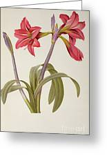 Amaryllis Brasiliensis Greeting Card by Pierre Redoute