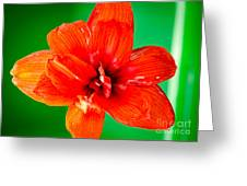 Amaryllis Contrast Orange Amaryllis Flower Appearing To Float Above A Deep Green Background Greeting Card