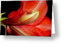 Amaryllis Flower About To Bloom Greeting Card