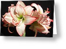 Amaryllis Group Greeting Card