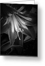 Amaryllis In Bw Greeting Card