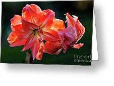Amaryllis In February 5472 Greeting Card