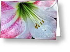Amaryllis - Lily Greeting Card