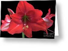 Amaryllis Petal Curls Greeting Card