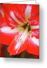 Amaryllis Red Greeting Card