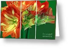 Amaryllis Triptych Greeting Card