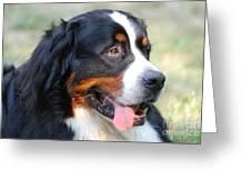 Amazing Bernese Mountain Dog Greeting Card