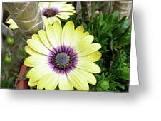 Amazing Daisy  Greeting Card