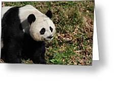 Amazing Giant Panda Bear Sitting In A Grass Field Greeting Card
