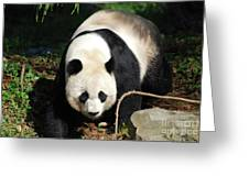 Amazing Sweet Chinese Giant Panda Bear Walking Around Greeting Card