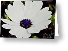 Amazing White African Daisy Greeting Card