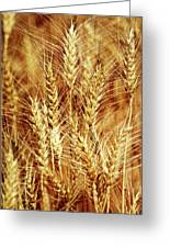 Amber Waves Of Grain 1 Greeting Card