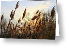 Amber Waves Of Pampas Grass Greeting Card