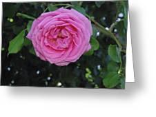 America Climbing Rose Greeting Card