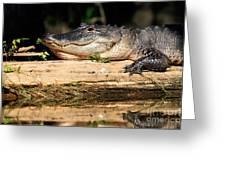 American Alligator Suns Itself Greeting Card