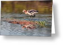 American Avocet Chick Greeting Card