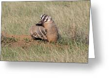 American Badger Cub Climbs On Its Mother Greeting Card