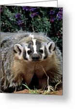 American Badger On Alert Greeting Card