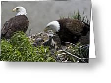 American Bald Eagles, Haliaeetus Greeting Card