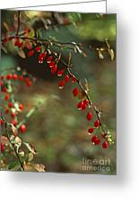American Barberry With Raindrops Greeting Card