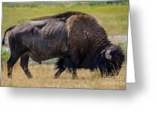 American Bison - Antelope Island - Utah Greeting Card