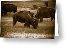 American Bison Grazing - Bw Greeting Card