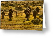American Bison Sunset March Greeting Card