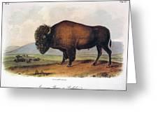 American Buffalo, 1846 Greeting Card