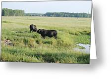 American Cattle Greeting Card