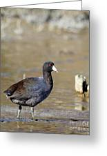 American Coot . 4819 Greeting Card