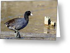 American Coot . 7d4818 Greeting Card
