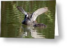 American Coot Adult And Juvenile Greeting Card