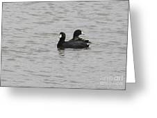 American Coots  Greeting Card