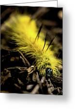 American Dagger Moth Caterpillar Greeting Card