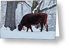 American Devon Grazes In The Snow Greeting Card