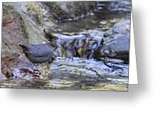 American Dipper Greeting Card