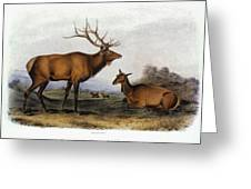 American Elk, 1846 Greeting Card